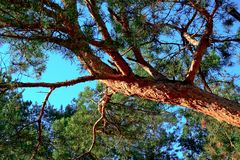 Pijnboom, boomboomstam, naalden, aard, levende pijnboom Stock Fotografie
