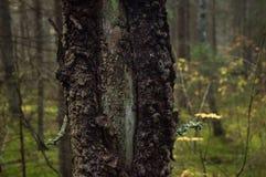 pijnboom, boomstam zonder schors, hars royalty-vrije stock foto's