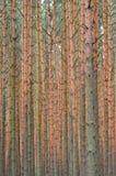 Pijnboom bosachtergrond. Nadruk op boomstammen. Royalty-vrije Stock Afbeeldingen