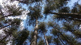 Pijnboom boskrushino Stock Foto