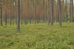 Pijnboom bosrusland Stock Foto's