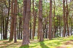 Pijnboom bosthailand Stock Foto's