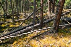 Pijnboom bosvloer Stock Afbeelding