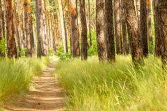 Pijnboom bosweg in het Pijnboombos Royalty-vrije Stock Afbeeldingen