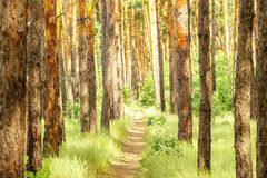 Pijnboom bosweg in het Pijnboombos Stock Foto