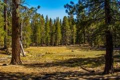 Pijnboom bosweide Stock Foto's