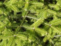Pijnboom branchs Royalty-vrije Stock Afbeeldingen