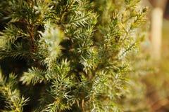 Pijnboom of cedertakken, jonge groene naalden stock fotografie