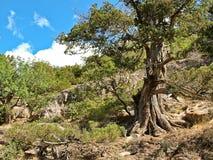 Pijnboom in de Krimbergen Royalty-vrije Stock Fotografie