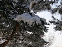 Pijnboom in de sneeuw Royalty-vrije Stock Foto