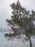 Pijnboom in de winter Royalty-vrije Stock Afbeelding