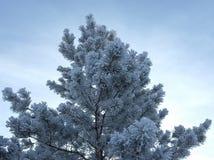 Pijnboom die met rijp wordt behandeld Royalty-vrije Stock Foto