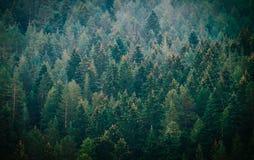 Pijnboom donkere griezelige bosfoto die de donkere nevelige bedelaars van de pijnboomboom afschilderen Royalty-vrije Stock Foto