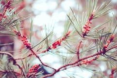 Pijnboom drie brunches Stock Afbeeldingen