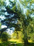 Pijnboom en berk gelukkig samen royalty-vrije stock afbeelding