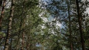 Pijnboom en berkbos op een warme de zomerdag stock video