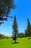 Pijnboom en blauwe hemel stock afbeeldingen