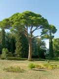 Pijnboom en gras in park Stock Afbeeldingen