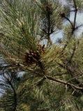 Pijnboom en haar stuk Stock Fotografie