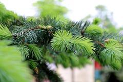 Pijnboom en nette takken Stock Fotografie