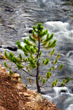 Pijnboom en Rivier in het Nationale Park van Yellowstone Stock Afbeeldingen