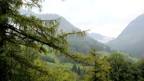 Pijnboom en Weiland met Groen Forest And Foggy stock foto's
