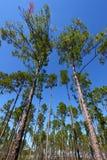 Pijnboom Flatwoods - Florida Stock Afbeeldingen