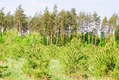 Pijnboom forest.large en kleine bomen Stock Afbeeldingen