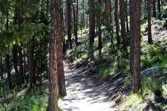 Pijnboom Forest Path Stock Afbeeldingen
