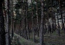 Pijnboom Forest Path naughty stock fotografie