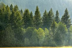 Pijnboom Forest During Rainstorm Lush Trees royalty-vrije stock afbeeldingen