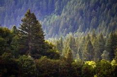 Pijnboom Forest During Rainstorm Lush Trees royalty-vrije stock fotografie