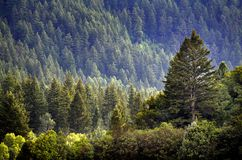 Pijnboom Forest During Rainstorm Lush Trees royalty-vrije stock foto's
