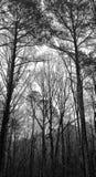 Pijnboom Forest Sentinels North Carolina royalty-vrije stock fotografie