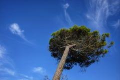 Pijnboom geïsoleerde neiging door de wind royalty-vrije stock afbeeldingen