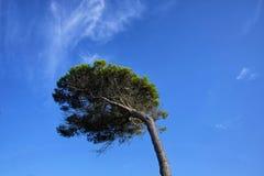 Pijnboom geïsoleerde neiging door de wind stock afbeeldingen