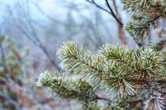 Pijnboom groene takken in rijp in de winter forst stock afbeelding