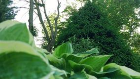 Pijnboom in het Park stock footage
