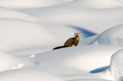 Pijnboom Martin in diepe sneeuw Royalty-vrije Stock Foto's