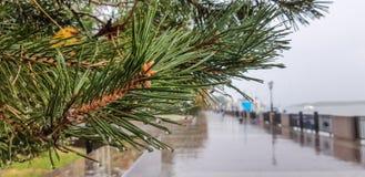 Pijnboom met dalingen van regenclose-up op de natte bestrating van de rivierdijk weg stock foto's