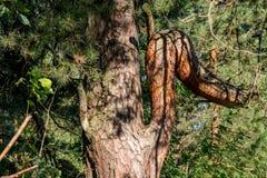Pijnboom met een gebogen boeg van ongebruikelijke vorm royalty-vrije stock foto