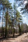 Pijnboom met een gebogen boomstam in het bos stock afbeelding