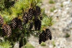Pijnboom met kegels op de natuurlijke achtergrond Nepal, Himalayagebergte stock afbeelding