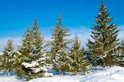 Pijnboom met Sneeuw Royalty-vrije Stock Fotografie