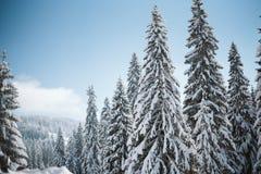 Pijnboom met sneeuw bij zonsondergang met duidelijke blauwe hemel wordt behandeld die royalty-vrije stock afbeeldingen