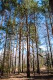 Pijnboom met twee boomstammen stock foto