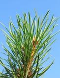 Pijnboom op de achtergrond Royalty-vrije Stock Foto's
