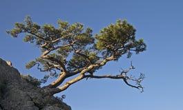 Pijnboom op de berg. Stock Fotografie