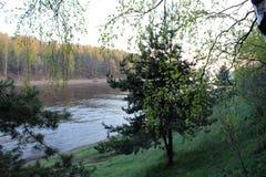 Pijnboom op de rivierbank stock foto's