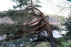 Pijnboom op de rivierbank royalty-vrije stock foto